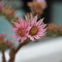 Flower of Sempervivum