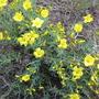 Flax (Linum flavum)