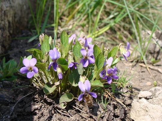 Bee and Violas (Viola odorata)