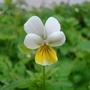 Viola arvensis (Viola arvensis)