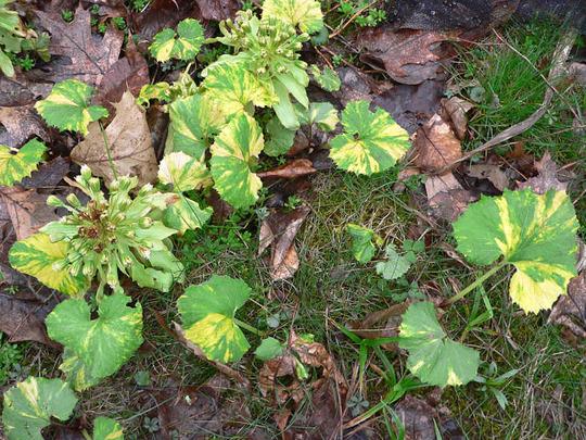Butterburr (Petasites hybridus (Butterburr))