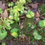 Butterbur_blooms_fading_new_leaves_4_11_08_sm
