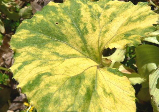 Butterburr Leaf Close (Petasites hybridus (Butterburr))