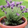French_lavender1