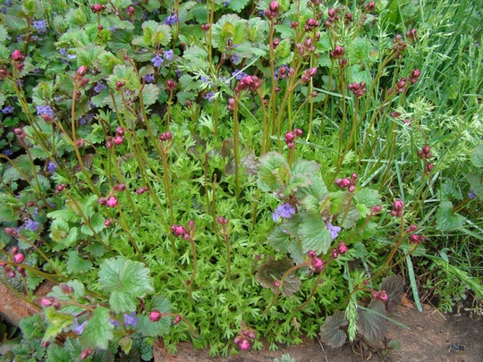 Saxifrage (Saxifraga x arendsii)