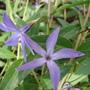 Periwinkle (Vinca herbacea)