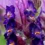 French_lavender6