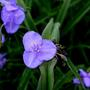 Va_spiderwort_small_