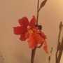 Orchid Cambria (Orchid)