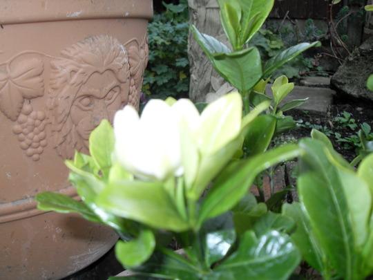 Gardenia_Kleims_Hardy.jpg