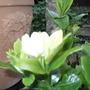 Gardenia_kleims_hardy