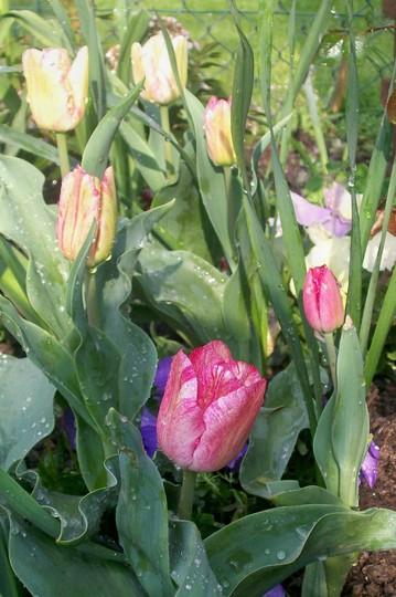 Trellis bed Tulilps (Tulipa)