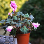 Wavy cyclamen