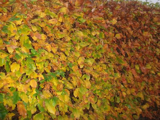 Beech Hedge - November 2009