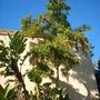 Markhamia lutea - Nile Tulip Tree / Markhamia (Markhamia lutea - Nile Tulip Tree / Markhamia)