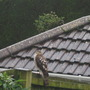 not to mention the Sparrowhawk!