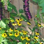 Pokeweed and Button Brown-eyed susans
