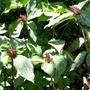 Red Trillium (trillium recurvatum)
