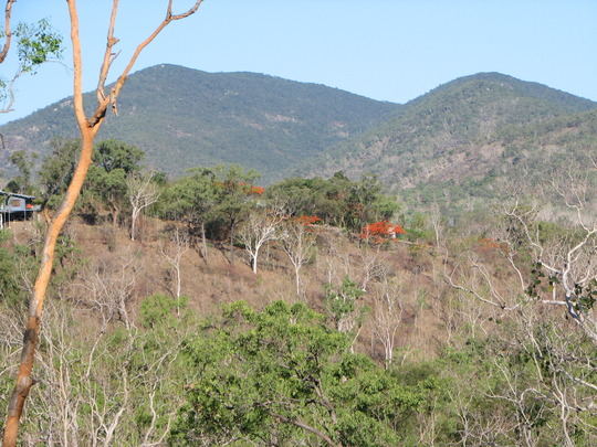 End-of-Spring downunder - Delonix regia in bloom in the bushland (Delonix regia (Acacia Roja))