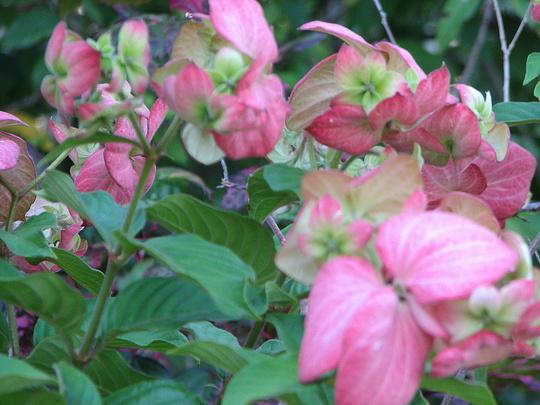 End-of-Spring downunder - Mussaenda in bloom again (Mussaenda philippica 'Bangkok Rose')