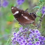 End-of-Spring downunder - rather tattered butterfly sipping on the nectar of the Duranta repens blooms (Duranta repens)