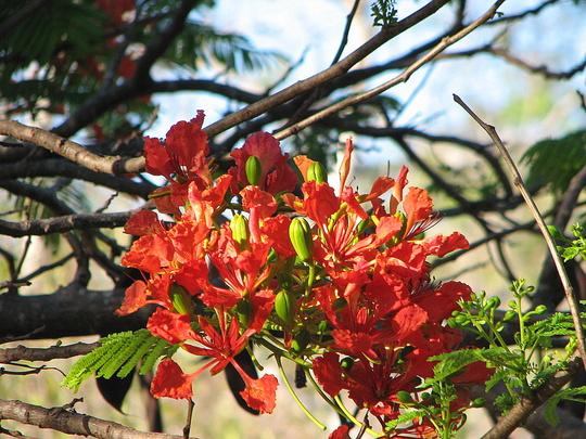 End-of-Spring downunder - Delonix regia in bloom again (Delonix regia (Acacia Roja))