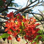 End-of-Spring downunder - Delonix regia in bloom again (Delonix regia (Acacia Roja))