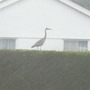 Heron on the top of my neighbours Leylandii hedge this morning!