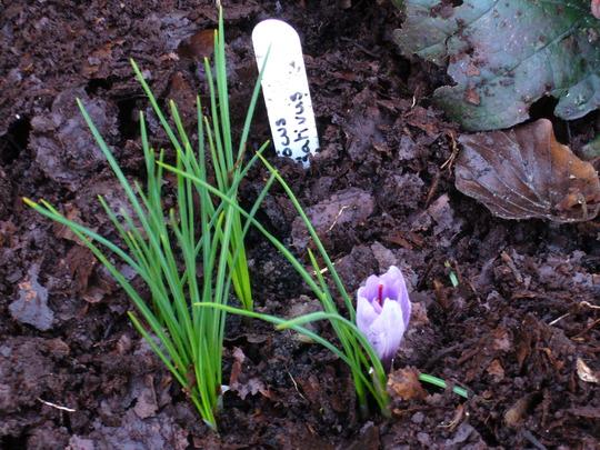Crocus sativus (Crocus sativus)