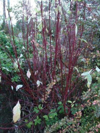 Cornus stems (Cornus alba)