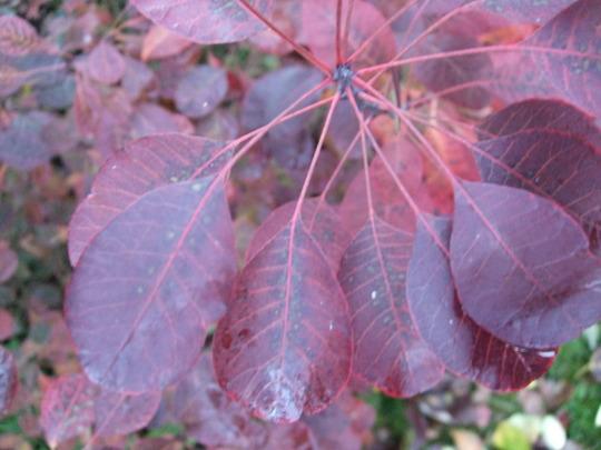 Cotinus leaves (Cotinus coggygria)