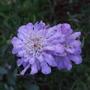 Scabiosa_blure_butterfly_