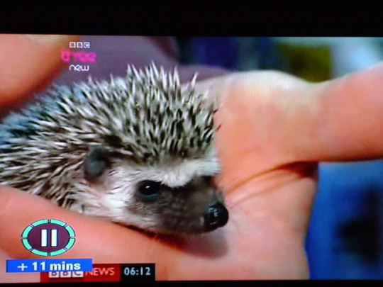 Hedgepig for Morgana.