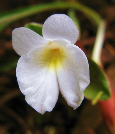 Siphonochilus involucratus (Siphonochilus involucratus)