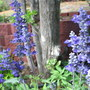 Salvia farinacea 'Victoria Blue' (Salvia farinacea (Mealy sage))