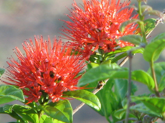 End-of-Spring downunder - Combretum constrictum in bloom again (Combretum Constrictum 'Thailand')