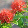 End-of-Spring downunder - Combretum constrictum in bloom again (Combretum Constrictum 'Thailand')