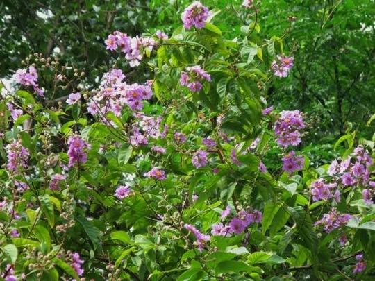 Lagestromia speciosa (Lagestromia speciosa)