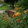 Butterfly collection (Lantana camara (Lantana))