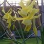 Daffodil Hawera (Narcissus)