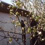 Apple_tree_in_flower