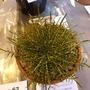 Aciphylla pinnatifida