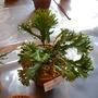 Asplenium scolopendrium Ramo-marginatum