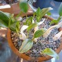 Biarum davisii ssp marmarisense