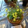 Calceolaria teucrioides