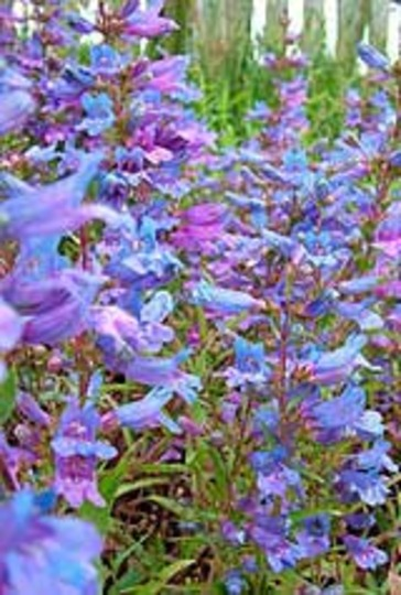 A garden flower photo (Penstemon heterophyllus 'Heavenly Blue')