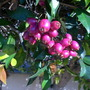 Syzygium panaculatum - Australian Brush Cherry Tree (Syzygium panaculatum - Australian Brush Cherry Tree)