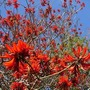 Coral tree in full bloom (Erythrina capensis)