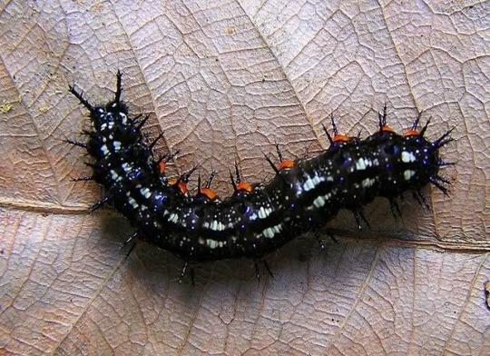 Doleschallia bisalitide catterpillar (Doleschallia bisalitide ,caterpillar)