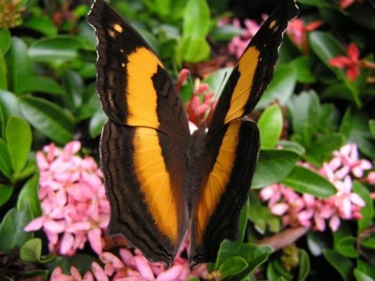 Australian lurcher butterfly.Yoma sabina (Yoma sabina)